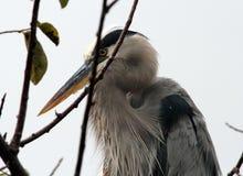 在巢的伟大蓝色的苍鹭的巢 库存照片