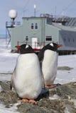 在巢的公和母Gentoo企鹅在背景  免版税库存照片