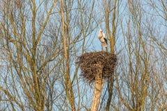在巢的公鹳 免版税库存照片