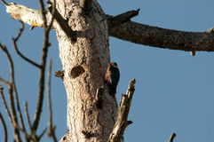 在巢的刘易斯的啄木鸟 图库摄影