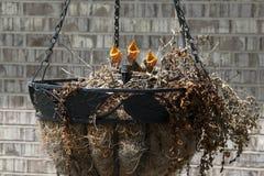 在巢的哀悼的鸠小鱼苗 库存照片
