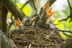 在巢的四个Ñ 土头土脑的人在一个树枝在春天在阳光特写镜头 库存图片