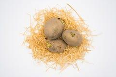 在巢的土豆与白色背景射击在演播室 库存图片