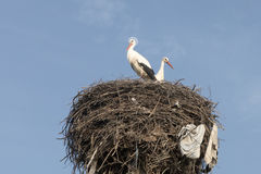 在巢的圣洁鹳 免版税库存照片