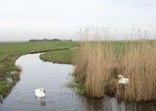 在巢的天鹅和garding在eempolder的人一个在阿莫斯福特附近在荷兰 免版税图库摄影