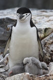 在巢的女性和两只小鸡南极企鹅 免版税图库摄影