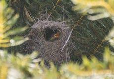 在巢的婴孩sunbird 免版税库存图片