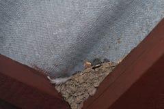 在巢的小燕子 库存图片