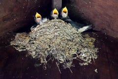 在巢的小燕子 库存照片