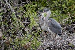 在巢的少年灰色苍鹭 免版税库存图片