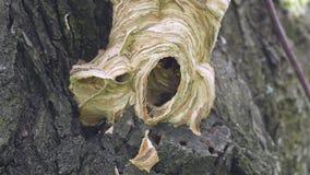 在巢的巨型大黄蜂 影视素材