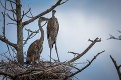 在巢的幼小伟大蓝色的苍鹭的巢 免版税库存照片