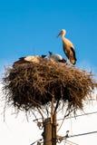 在巢的幼小白色鹳 免版税库存照片