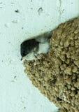 在巢的快速小鸡 免版税库存照片