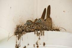 在巢的斑马鸠 免版税库存照片