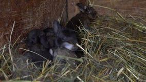 在巢的新出生的兔子 影视素材