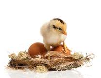 在巢的新出生的小鸡 免版税库存图片