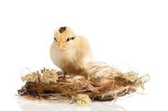 在巢的新出生的小鸡 库存照片