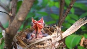 在巢的新出生的幼鸟 股票视频
