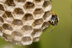 在巢的欧洲纸质黄蜂Polistes dominula 库存图片
