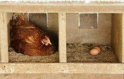 在巢的母鸡用鸡蛋 免版税库存照片