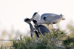 在巢的灰色苍鹭 图库摄影