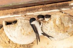 在巢的燕子 免版税库存照片