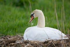 在巢的白色疣鼻天鹅 免版税库存照片