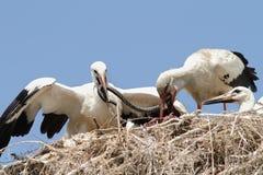 在巢的白色鹳哺养的小鸡 免版税库存图片
