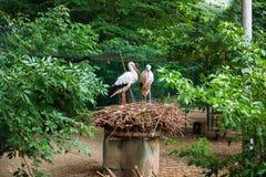 在巢的白色鹳夫妇 库存照片