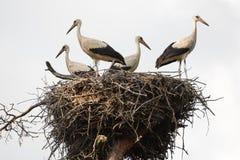 在巢的白色鹳家庭 免版税图库摄影