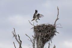 在巢的白鹭的羽毛着陆 库存照片