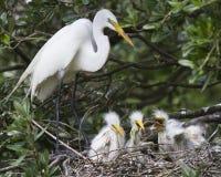 在巢的白鹭鸟 免版税库存照片