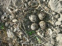 在巢的红色Wattled田凫鸡蛋 免版税库存图片