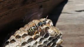 在巢的纸质黄蜂