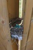 在巢的罗宾鸡蛋 免版税库存图片