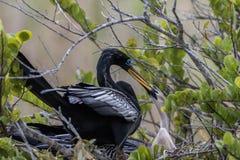 在巢的美洲蛇鸟与青少年,大沼泽地国家公园,佛罗里达 库存图片
