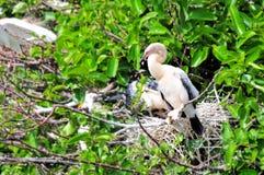 在巢的美洲蛇鸟小鸡在沼泽地 免版税图库摄影