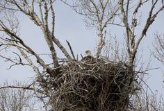 在巢的老鹰 免版税库存图片