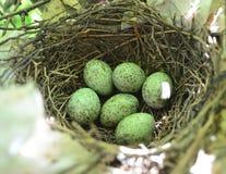 在巢的蓝鸟鸡蛋 库存照片