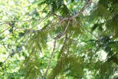 在巢的蜂鸟 免版税图库摄影