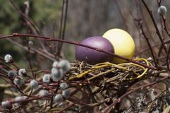 在巢的被洗染的鸡蛋在杨柳分支 免版税库存图片