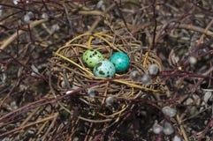 在巢的被洗染的鹌鹑蛋在杨柳分支 免版税库存照片