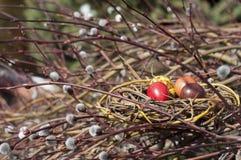 在巢的被洗染的鹌鹑蛋在杨柳分支 免版税库存图片