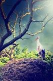 在巢的野生鹳 免版税库存照片