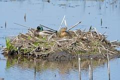 在巢的野鸭 免版税库存照片