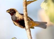 在巢的鸟tangara cayana运载的食物 图库摄影