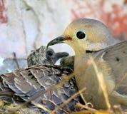 在巢的鸠与婴孩 免版税库存照片