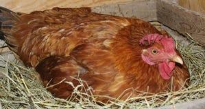 在巢的鸡 免版税库存图片