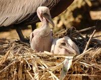 在巢的鹈鹕小鸡 免版税图库摄影